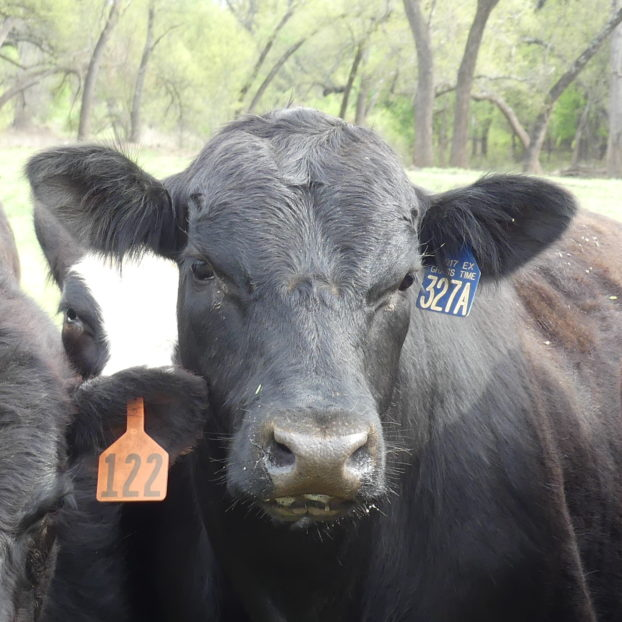 Black Angus Raised in Central Texas